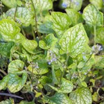 Brunnera macr. 'Little Jack'
