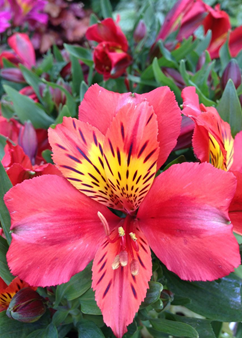 Alstroemeria Little Miss 'Tara'