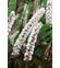 Actaea 'Black Negligee'