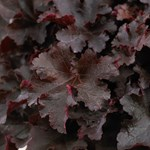 Heuchera 'Bilberry'