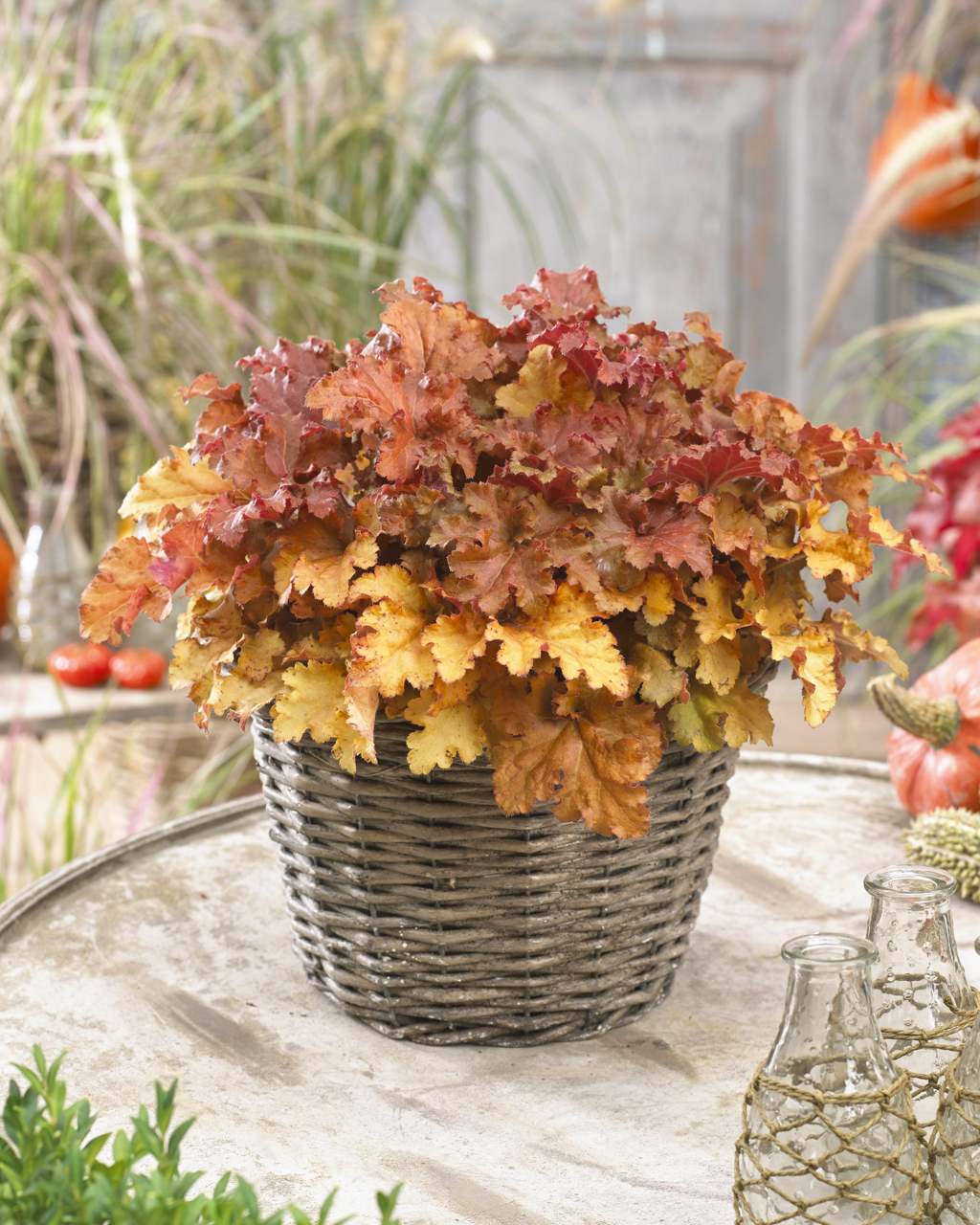 Heuchera 'Gojiberry'
