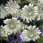 Astrantia 'Snow Star'