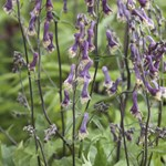 Aconitum 'Purple Sparrow'