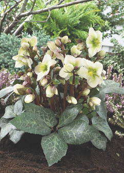 Helleborus 'Winter Moonbeam'