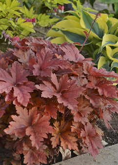 Heucherella 'Hopscotch'