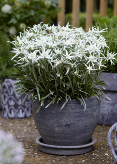 Leontopodium 'Blossom of Snow'
