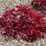"Heuchera ""Cherry Truffles"""