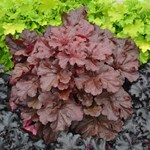 "Heuchera ""Mahogany Monster"""