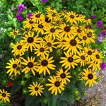 Rudbeckia 'Little Gold Star'