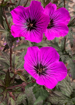 Geranium 'Dark Eyes'