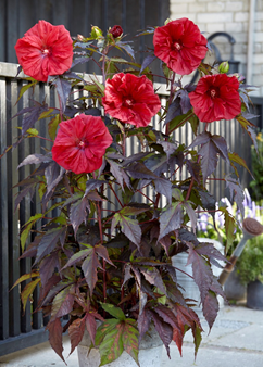 Hibiscus mos. 'Carousel Red Wine'