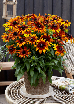 Rudbeckia Summerina 'Fringle Fudge'