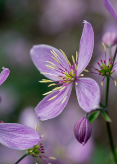 Thalictrum 'Chantilly Lace'