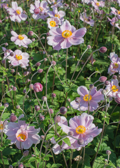 Anemone 'Loreley'