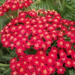 Achillea 'New Vintage Red'
