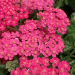 Achillea 'New Vintage Rose'