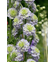 Delphinium Highlander 'Crystal Delight'