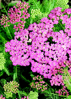 Achillea 'Saucy Seduction'