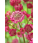 Astrantia 'Star of Treasure'