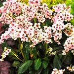 Bergenia 'Dragonfly Angel Kiss'