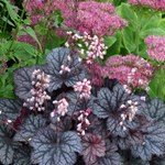 Heuchera 'Little Cuties Frost'