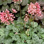 Heuchera 'Little Cuties Peppermint'