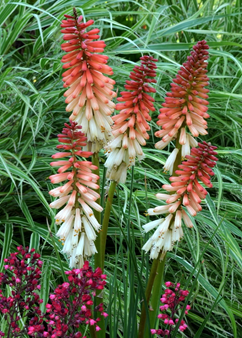 Kniphofia 'Orange Vanilla Popsicle'