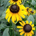 Rudbeckia 'Early Bird Gold'